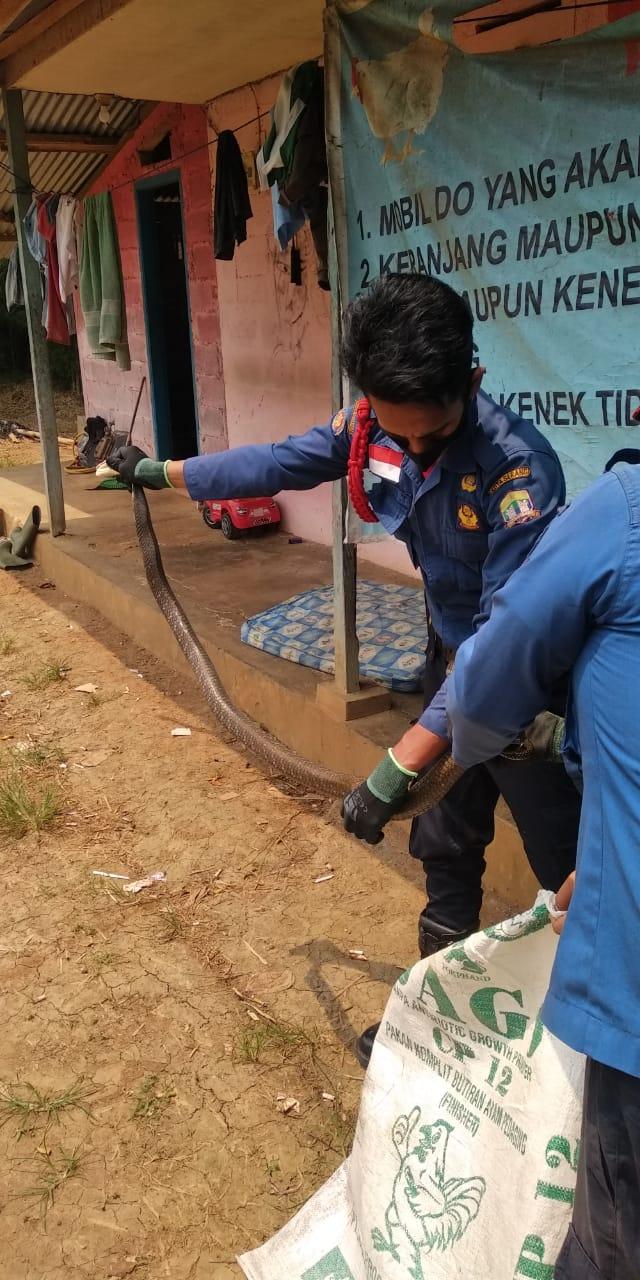 Evakuasi king kobra